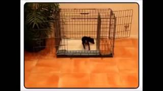 Chihuahua House Training Tips How To Potty Train A Chihuahua Puppy Chihuahua cubs