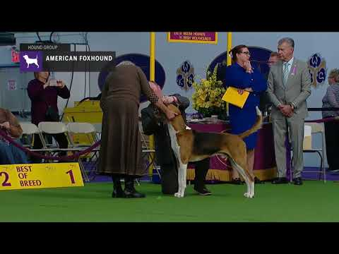 American Foxhounds | Breed Judging 2019
