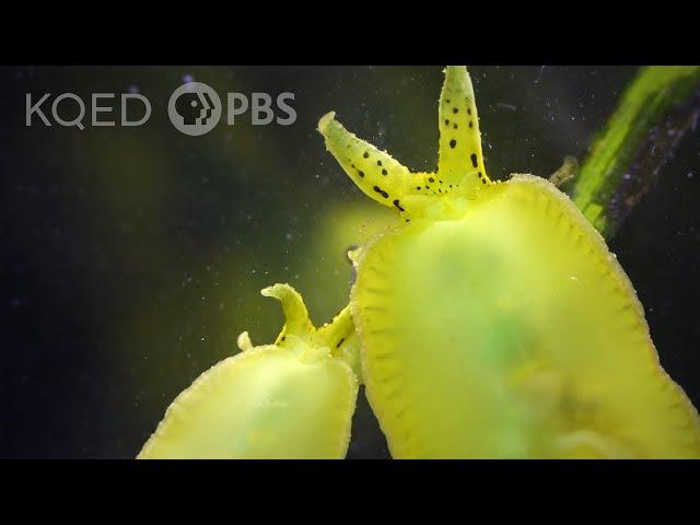 See Sea Slugs Scour Seagrass by the Seashore | Deep Look