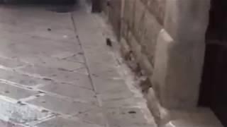 Un topo a spasso su via San Benedetto