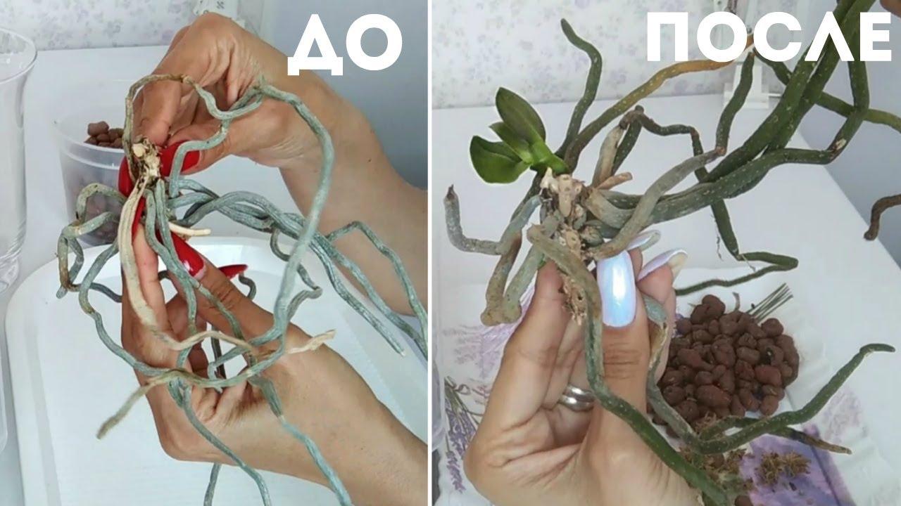 ПЕНЕК орхидеи дал ДЕТКУ // Как получить из одной орхидеи 2 // Обновление орхидеи