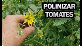 POLINIZAR El TOMATE De Forma Manual Flor Del Tomate || La Huertina De Toni