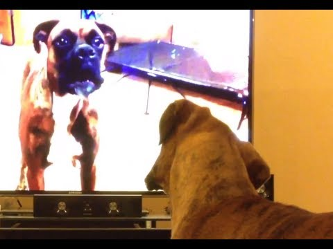 Brock the Boxer Dog: Watching own video on TV
