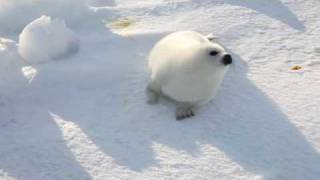 A Cute Baby Seal Look For Mother ふわふわ・アザラシ赤ちゃん