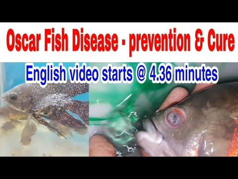 Oscar Fish Disease  Prevention & Treatment Fish Dr.