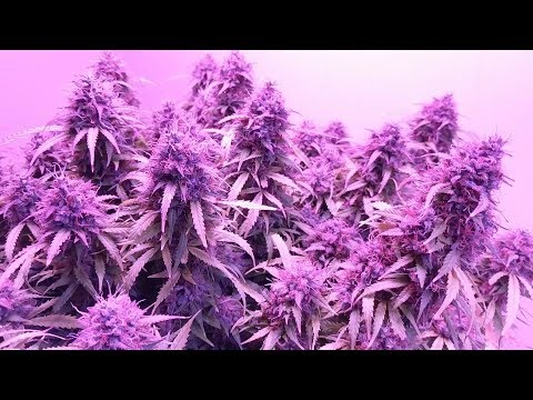 HOW TO INCREASE YIELDS. PHOTOPERIODS & AUTOFLOWERS