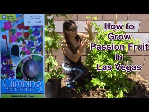 How to Grow Passion Fruit 'Frederick' in Las Vegas. Veganic (Vegan + Organic) Gardening
