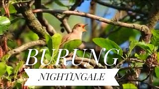 Gambar cover Nightingale : burung istimewa untuk masteran murai batu dan kenari