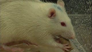 Faits comme des rats ?