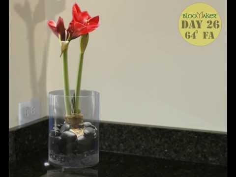 amaryllis in round vase youtube. Black Bedroom Furniture Sets. Home Design Ideas