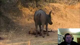 Old Male Lion Is Too Tire To Kill A Buffalo Reaction