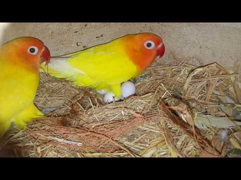 My lovebird parrots progress [Video in Urdu & Hindi]