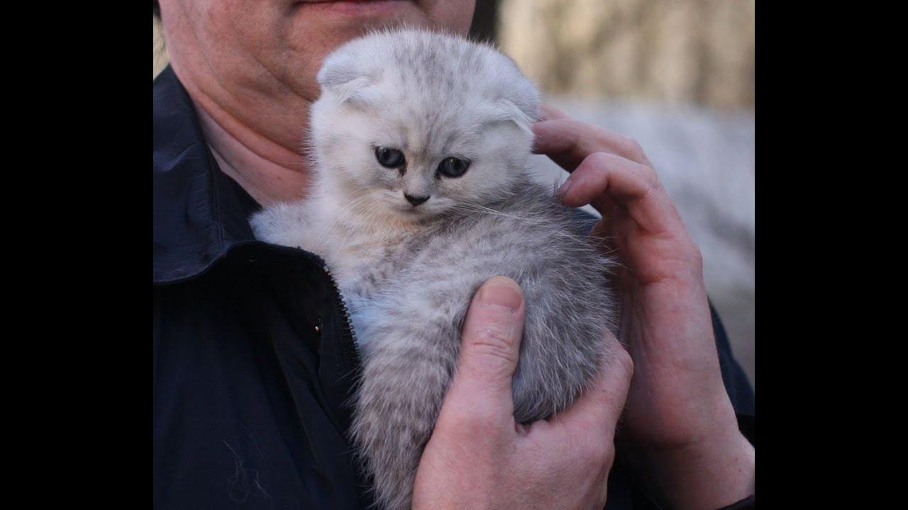 Шотландская прямоухая кошка. Скоттиш страйт. Недорого. 17:51, вчера 757. Владивосток. Шотландская вислоухая кошка. 25 000 р. Продается котенок фолд, 17:17, вчера 823. Владивосток. Шотландская вислоухая длинношерстная кошка. 10 000 р. Котенок шотландский скоттиш фолд хайленд, 17:11,
