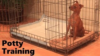 How To Potty Train A Miniature Pinscher Puppy - House Training Miniature Pinscher Puppies Fast