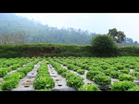 Indonesia Fresh Vegetable