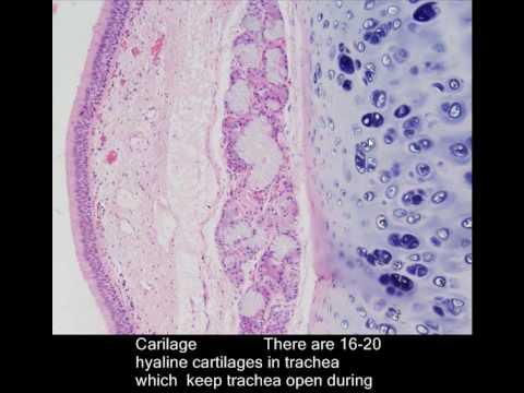Histology trachea - Four layers of trachea
