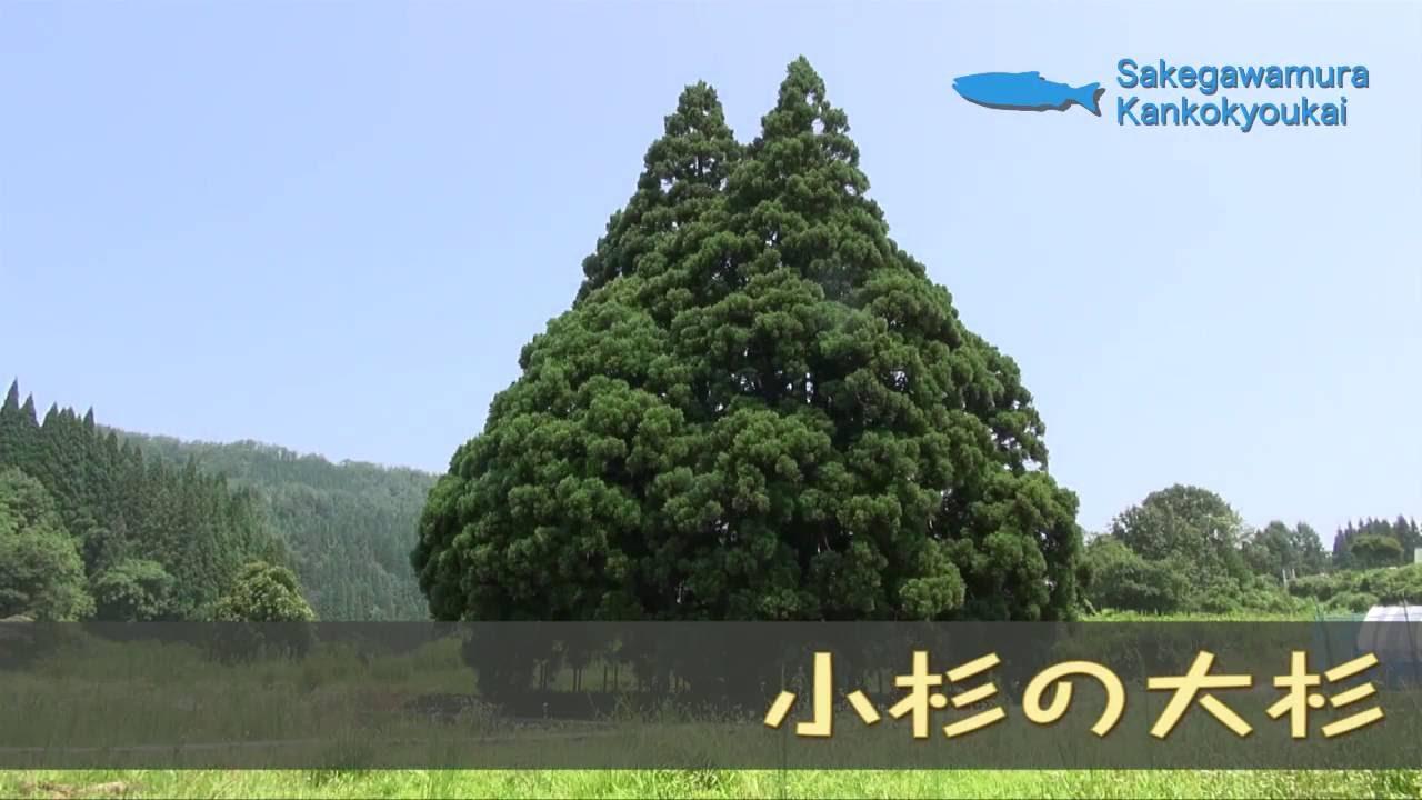 小杉の大杉(トトロに似た木)など...
