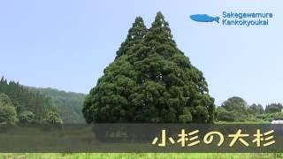 小杉の大杉(トトロに似た木)など巨木巡り【山形県鮭川村】