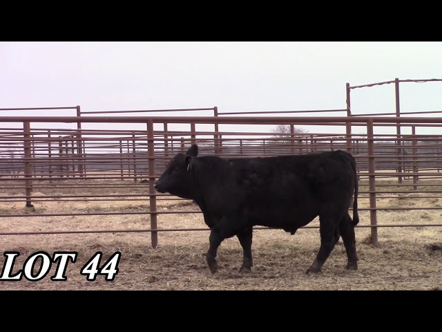 Mead Angus Farms Lot 44
