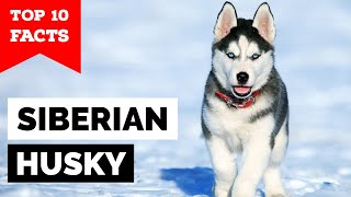 Siberian Husky  Top 10 Facts