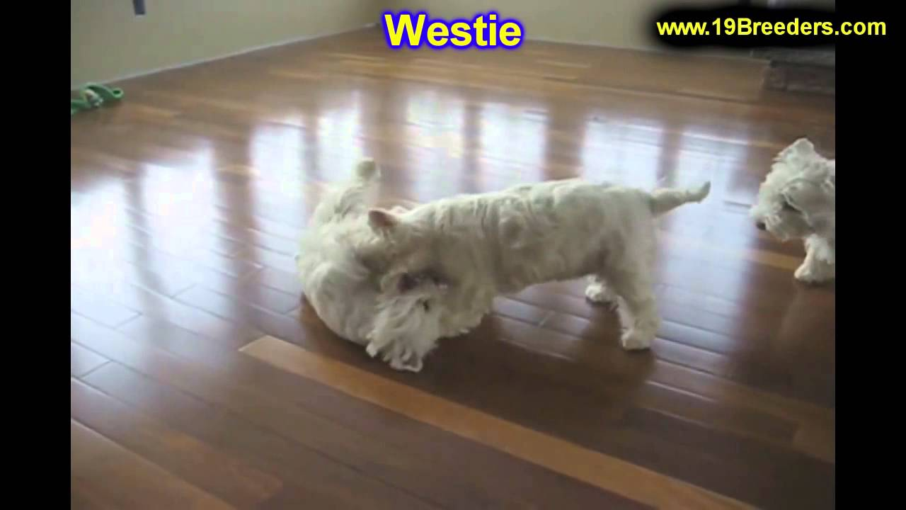 Westie Breeders Illinois