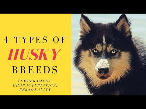 4 Types of Husky Breeds - Temperament, Characteristics, Personality