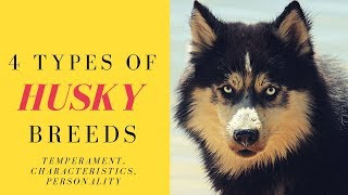 4 Types of Husky Breeds  Temperament, Characteristics, Personality