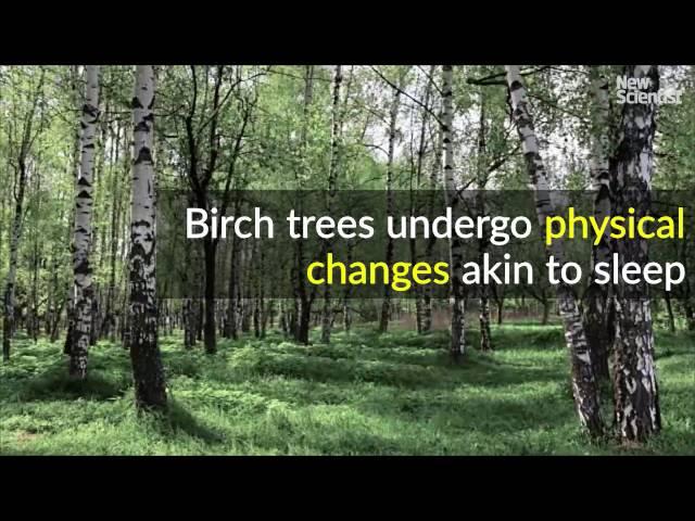 Birch Tree Vs Poplar
