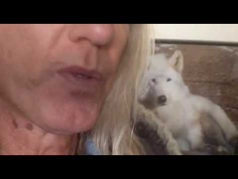 Wolfdog Rayne update 01 24 18