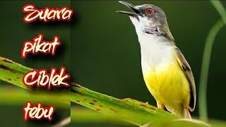 Download Video SUARA PIAKAT CIBLEK TEBU MP3 3GP MP4