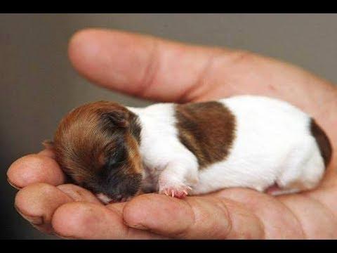 Li L Smiles Top 12 Adorable Tiny Puppies Youtube