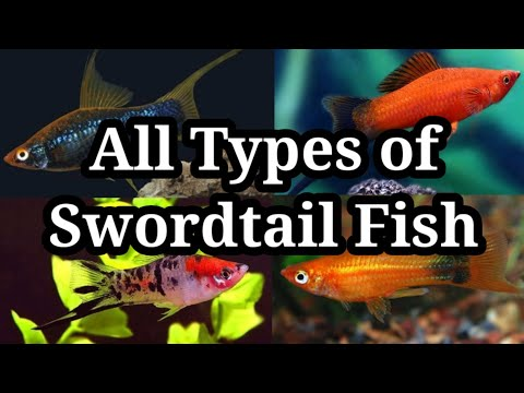 Different Types Of Swordtail Fish / #29