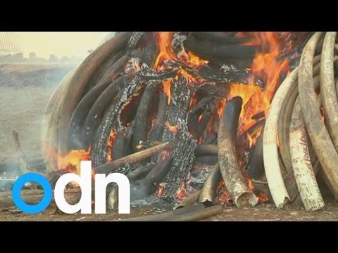 15 tonnes of Kenyan ivory burnt by President Uhuru Kenyatta