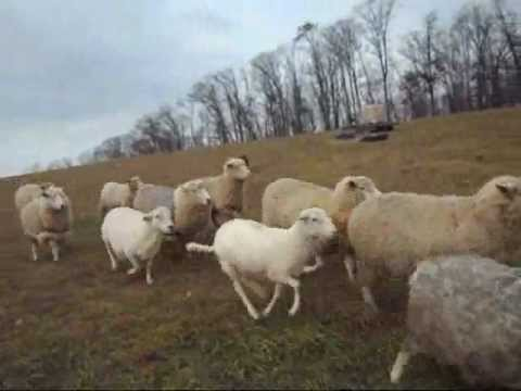 Border Collie moving flock o..