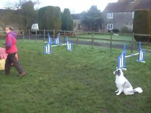 Luna Mini Aussie agility training