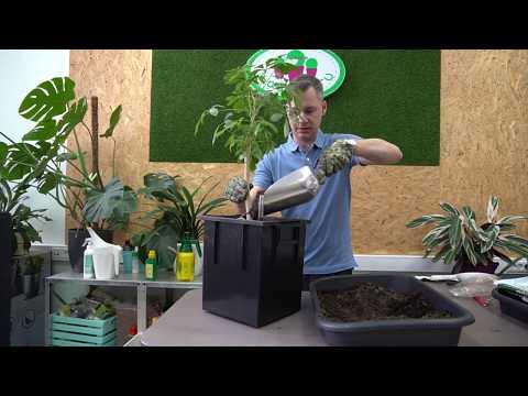 Шеффлера домашняя, простое в уходе растение