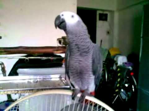 นกแก้ว จักจั่น รักกันจุ๊บจุ๊บ : African grey parrot Jakajan love each other smack smack