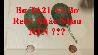 VIETVINACADO   Difference Between TA21 Avocado And Reed Avocado