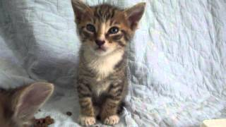 Kitten suddenly falls asleep during his brothers fight