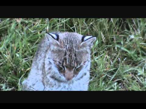 Harnett County Bobcat
