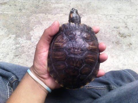 Nuevo ejemplar adoptado Trachemys scripta elegans  / tortuga japonesa / tortuga de orejas rojas