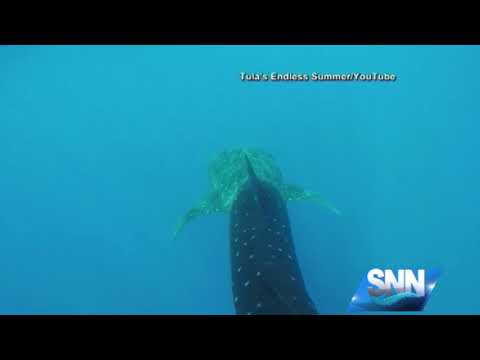 SNN: Mote Marine Laboratory gets outside help with its study of whale sharks