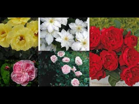 С каким клематисом совместить розы? Цветовое сочетание роз и клематисов! Названия сортов!