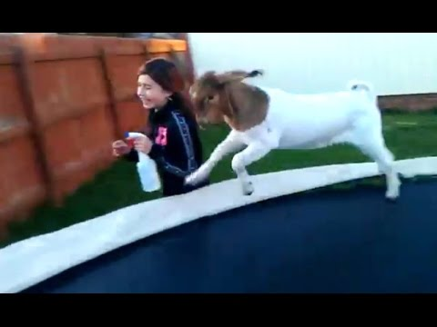 Goats on Trampolines (2016)