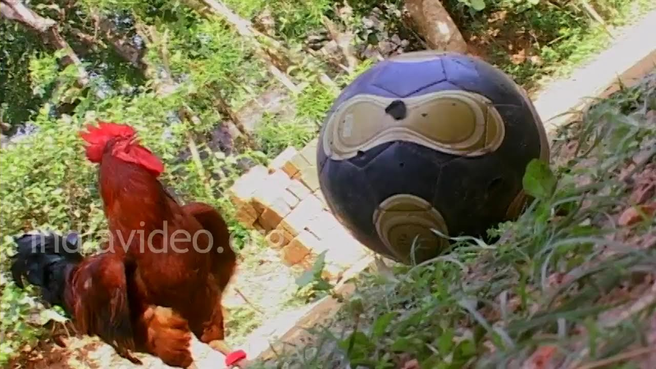 Best Football player Ever - Funny animal video