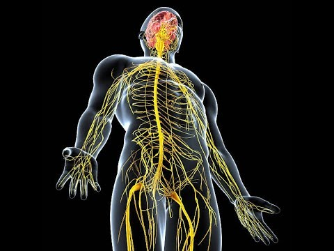 Organization of the human nervous system - MCAT Behavioral and ...