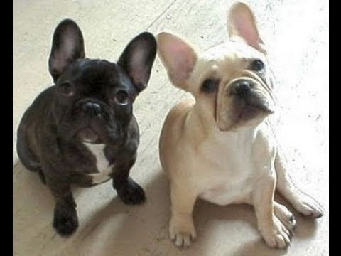 boston terrier and french bulldog french bulldog boston terrier youtube 6699