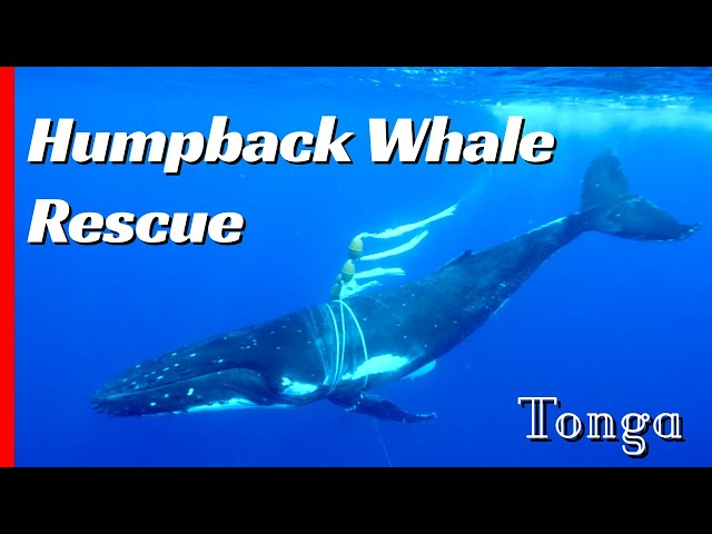 Tangled Mother Humpback Whale Needs Help