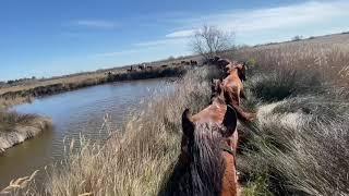 Transhumance de chevaux en Camargue