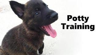 How To Potty Train A Dutch Shepherd Puppy - Dutch Shepherd House Training - Dutch Shepherd Puppies
